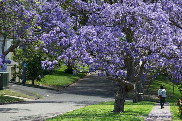 Vé máy bay giá rẻ đi Úc mùa thu trải nghiệm mùa phượng tím